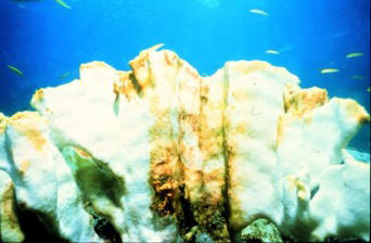 Bleached coral, Bahamas, with small fish (pic from NOAA)